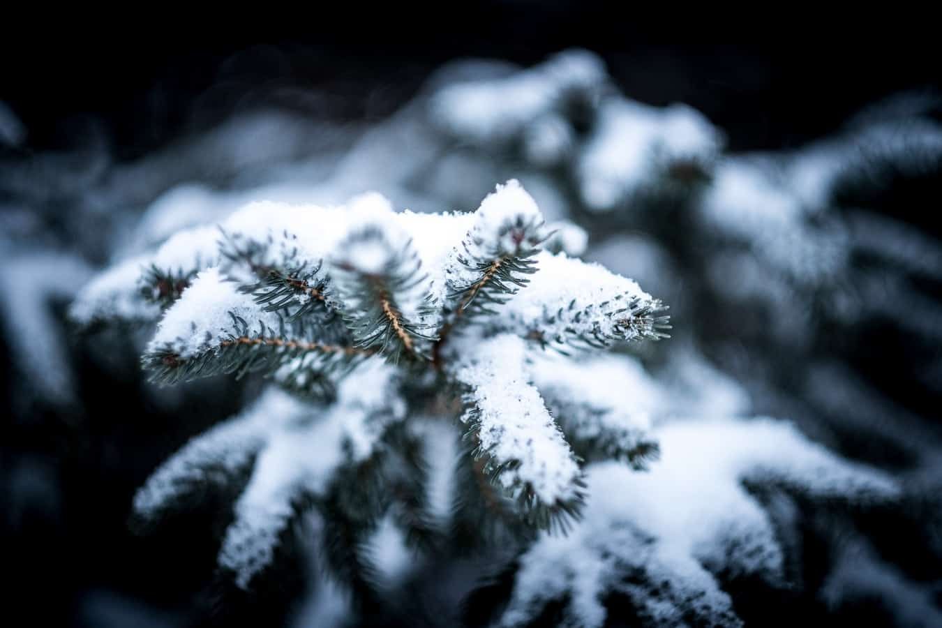 Snow on a Christmas tree branch